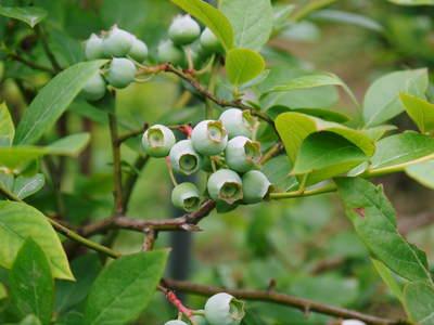 無農薬フレッシュブルーベリー 大量の木片チップを投入して腐木土で育てます_a0254656_19175560.jpg