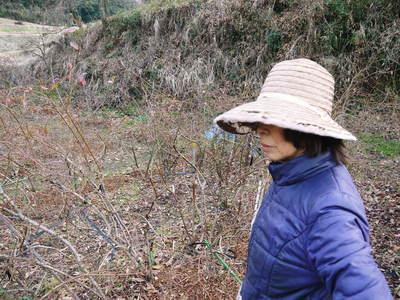 無農薬フレッシュブルーベリー 大量の木片チップを投入して腐木土で育てます_a0254656_1923442.jpg