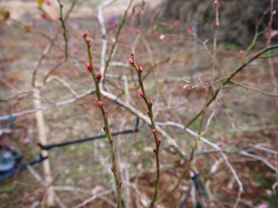 無農薬フレッシュブルーベリー 大量の木片チップを投入して腐木土で育てます_a0254656_1954473.jpg