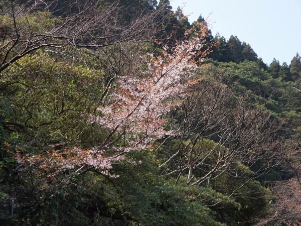 山桜、開花。_b0135573_17221280.jpg