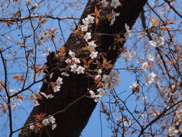 山桜、開花。_b0135573_17223501.jpg