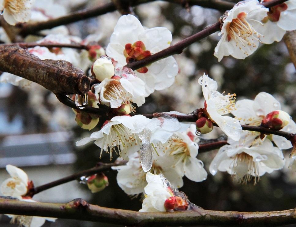 鼻水を垂らして。。。 ~沈丁花、白梅、雪化粧~_a0107574_20075103.jpg