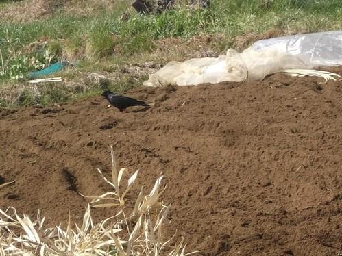 耕して.耕して....ジャガイモの準備_b0137932_17242218.jpg