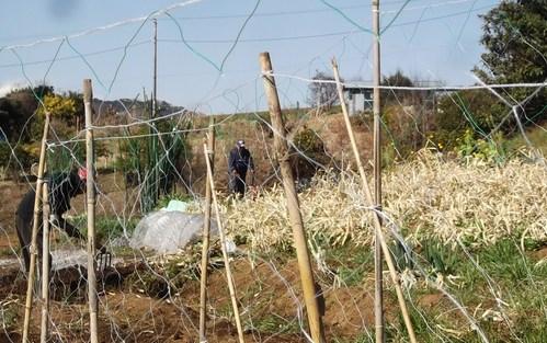 耕して.耕して....ジャガイモの準備_b0137932_17274356.jpg