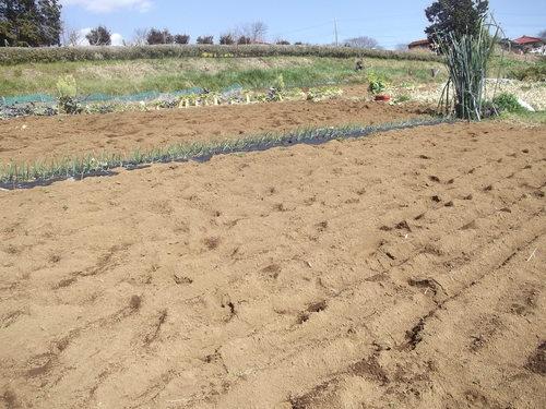 耕して.耕して....ジャガイモの準備_b0137932_1765489.jpg