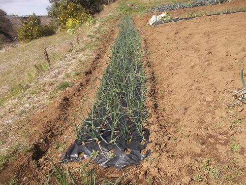 球根野菜の成長!...私綺麗.._b0137932_21412217.jpg