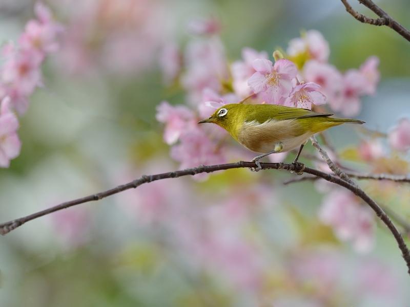 満開の河津桜とメジロたち_a0204089_6352684.jpg