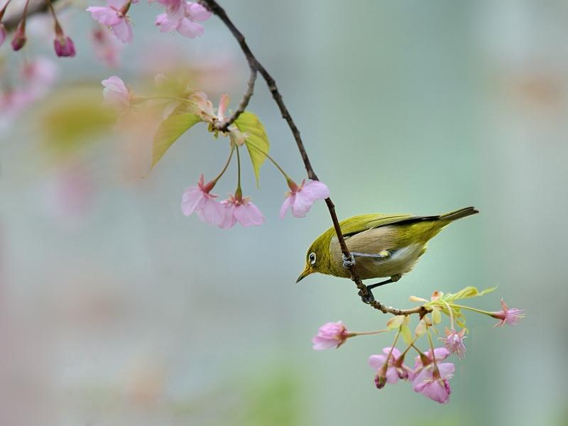 満開の河津桜とメジロたち_a0204089_6353823.jpg