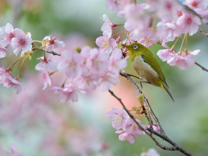 満開の河津桜とメジロたち_a0204089_635733.jpg