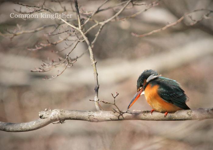 カワセミ:Common kingfisher_b0249597_540470.jpg