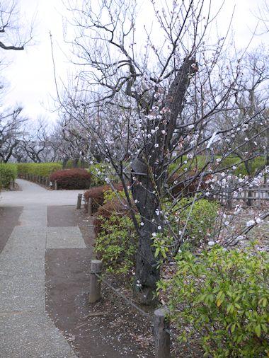 羽根木公園・梅まつりに行って来たよ。_c0090198_13535167.jpg