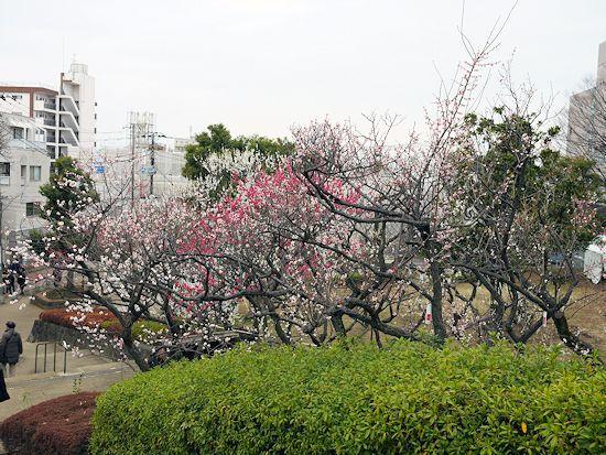 羽根木公園・梅まつりに行って来たよ。_c0090198_13545731.jpg