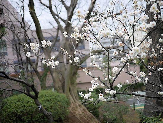 羽根木公園・梅まつりに行って来たよ。_c0090198_13584432.jpg