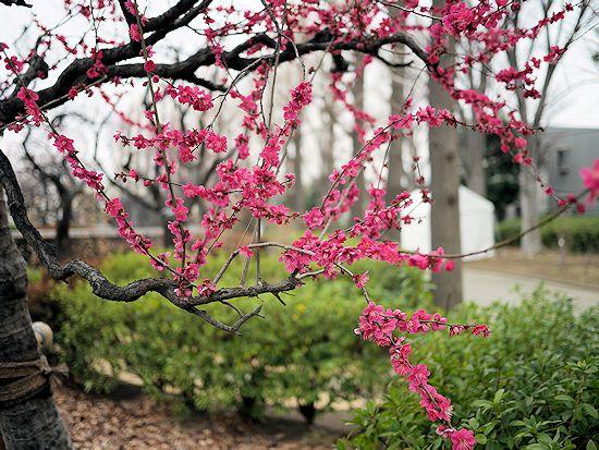 羽根木公園・梅まつりに行って来たよ。_c0090198_13591434.jpg