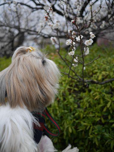 羽根木公園・梅まつりに行って来たよ。_c0090198_13592849.jpg