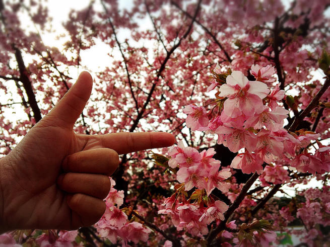 上関の桜まつり(河津さくら)_f0183846_15340621.jpg