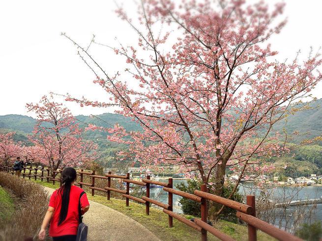上関の桜まつり(河津さくら)_f0183846_15340665.jpg