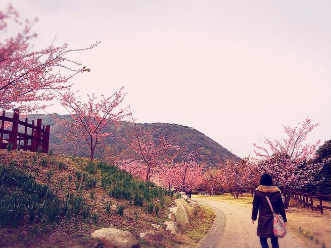 上関の桜まつり(河津さくら)_f0183846_15353389.jpg