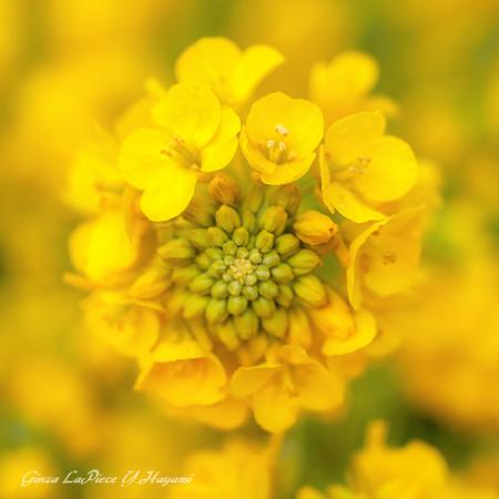 花のある風景 一面黄色菜の花_b0133053_045194.jpg