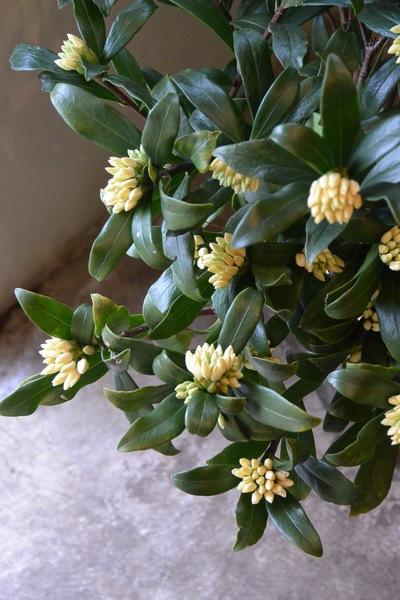 沈丁花の香り。。。_a0229658_651493.jpg