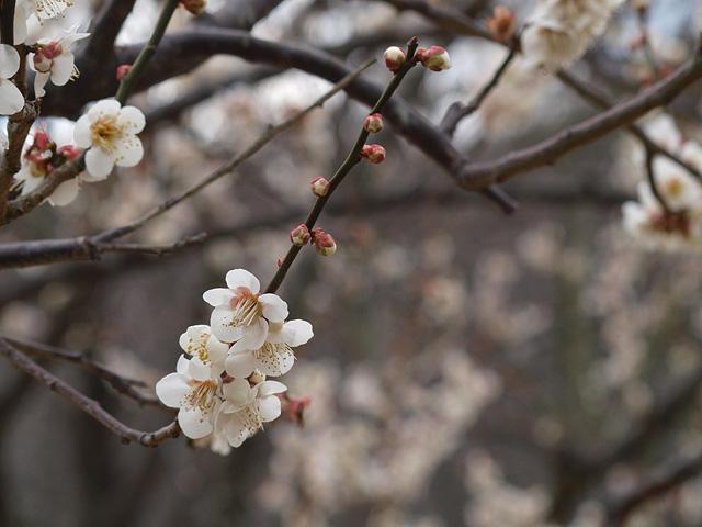青葉の森公園の梅 (2016/2/21)_b0006870_1039597.jpg