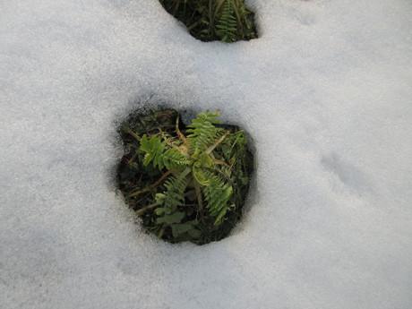 雪解け・山法師に花芽_a0203003_16471349.jpg