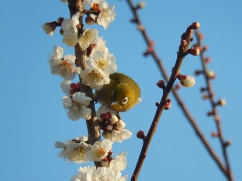 梅にメジロ..桜にひよ(小鳥..小川編)_b0137932_13483240.jpg