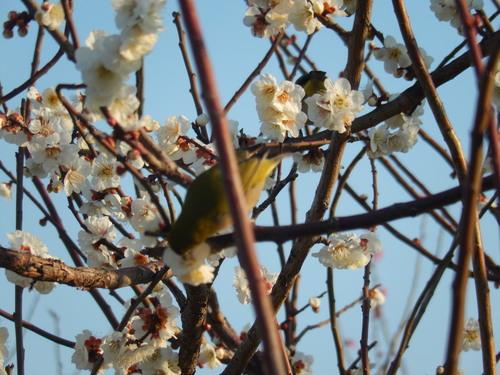 梅にメジロ..桜にひよ(小鳥..小川編)_b0137932_13491790.jpg