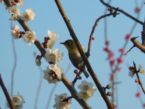 梅にメジロ..桜にひよ(小鳥..小川編)_b0137932_13513653.jpg