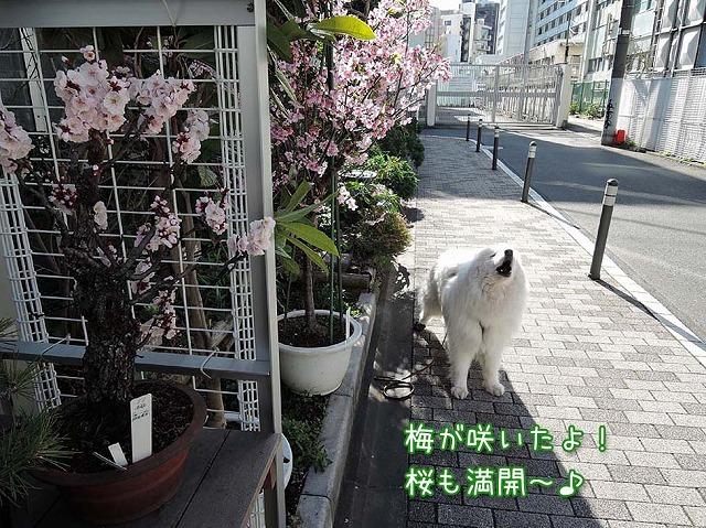 梅も桜も_c0062832_9234387.jpg