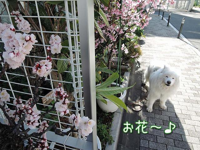 梅も桜も_c0062832_9235223.jpg