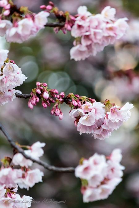 花のある風景 咲き始めのカワヅザクラ_b0133053_062572.jpg