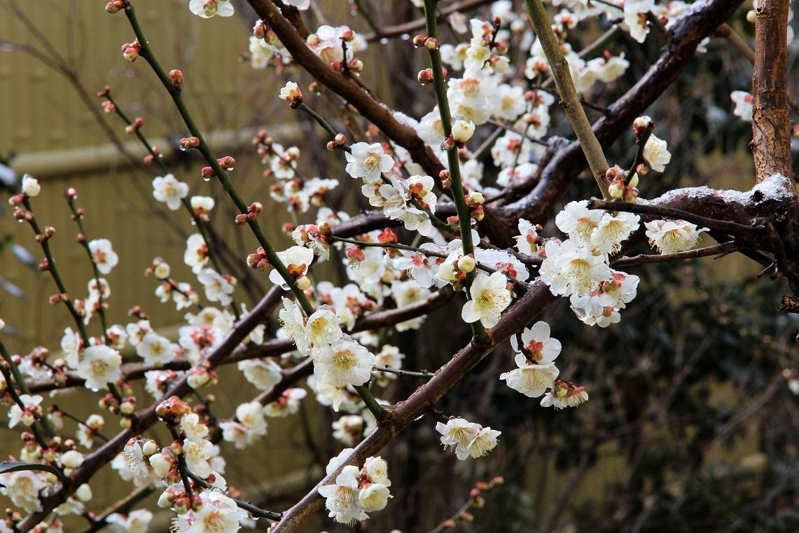 三日間の公園植栽 ~白梅、スズランスイセン~_a0107574_17475808.jpg