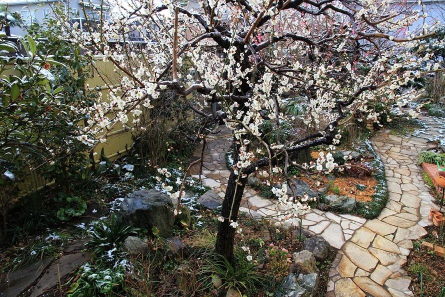 三日間の公園植栽 ~白梅、スズランスイセン~_a0107574_17480405.jpg