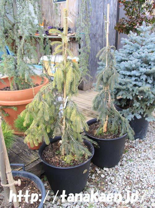 カナダトウヒ ペンジュラ Picea glauca \'Pendula\'_b0200291_15325777.jpg