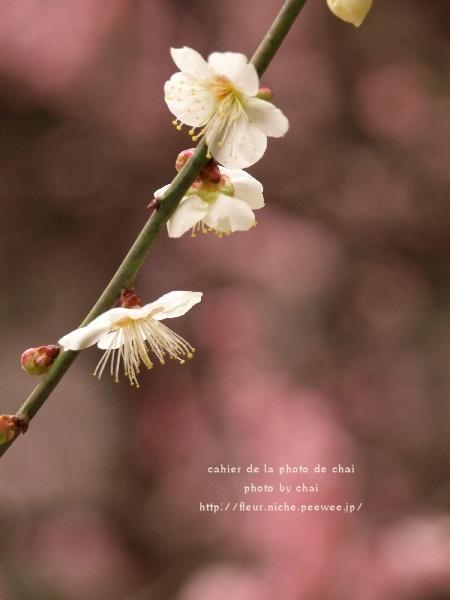 梅の香 #1_b0320893_23091275.jpg