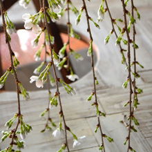 桜盆栽展はじまりました_d0263815_20171628.jpg