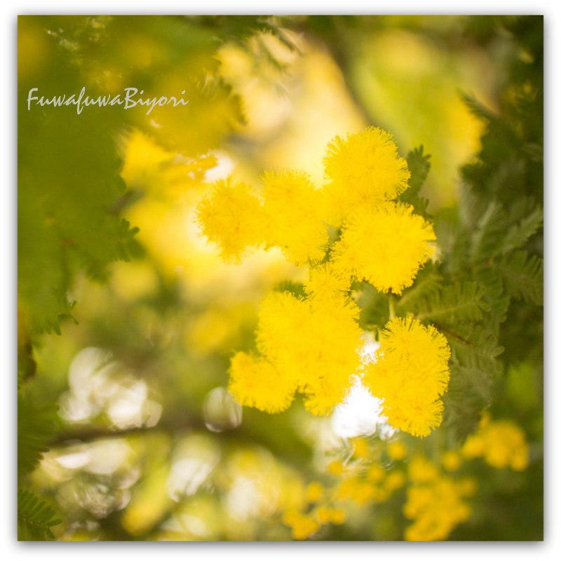 """*春を告げる """"ミモザ"""" *_d0344864_17455948.jpg"""