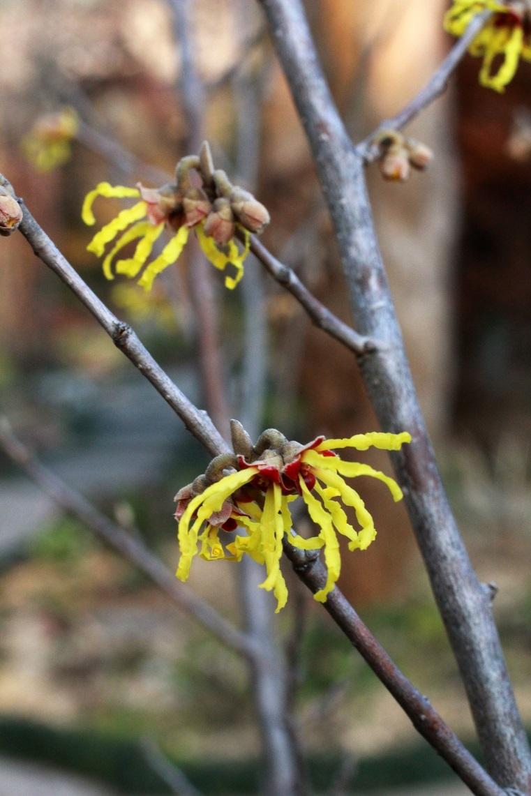 黄色い花を付ける木 ~マンサク、サンシュユ、ダンコウバイ~_a0107574_17005353.jpg