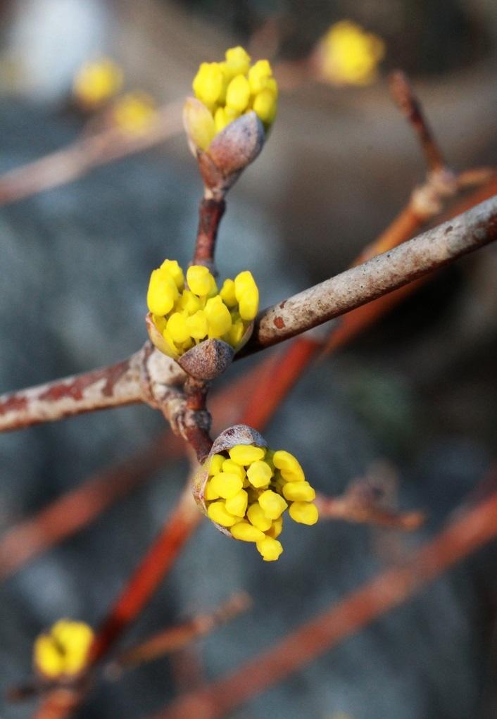 黄色い花を付ける木 ~マンサク、サンシュユ、ダンコウバイ~_a0107574_17010192.jpg