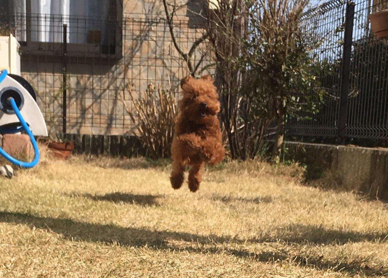 Resultado de imagen para 犬 Goldendoodle ジャンプする