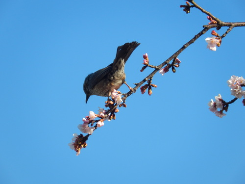 梅にメジロ..桜にひよ(小鳥..小川編)_b0137932_11171847.jpg