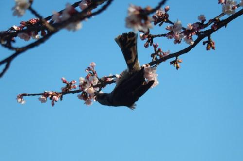 梅にメジロ..桜にひよ(小鳥..小川編)_b0137932_11174392.jpg