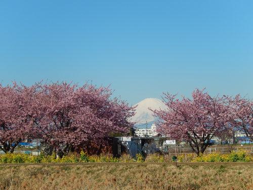 お花見...桜と富士と菜の花_b0137932_14112829.jpg