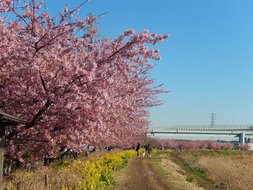 お花見...桜と富士と菜の花_b0137932_14124811.jpg