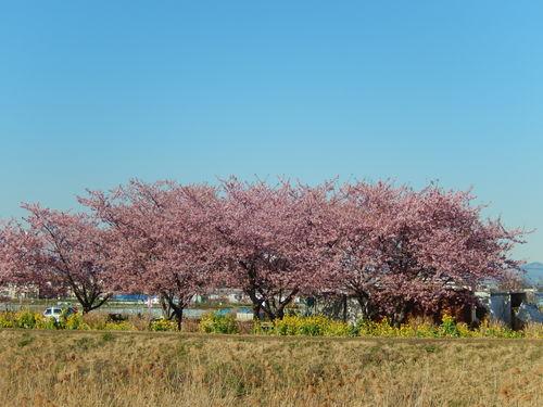 お花見...桜と富士と菜の花_b0137932_1412623.jpg