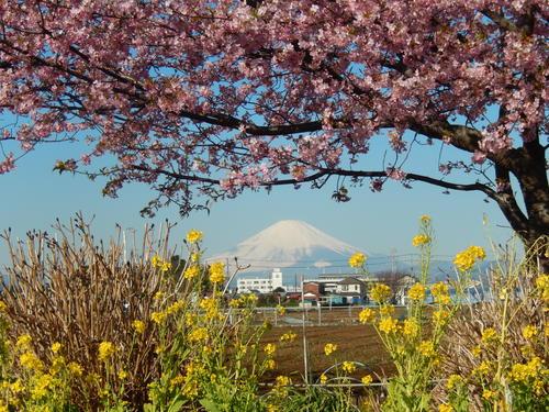 お花見...桜と富士と菜の花_b0137932_14131687.jpg