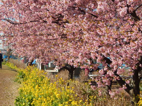 お花見...桜と富士と菜の花_b0137932_14135390.jpg