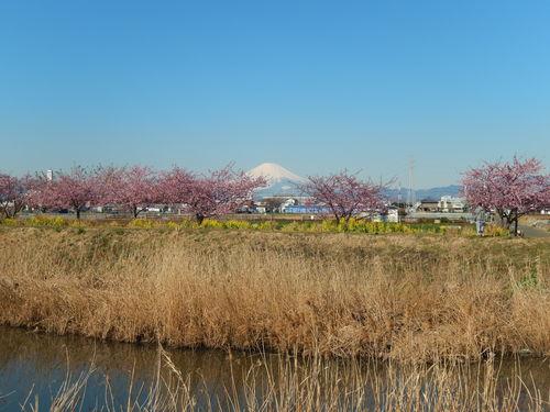 お花見...桜と富士と菜の花_b0137932_1439355.jpg