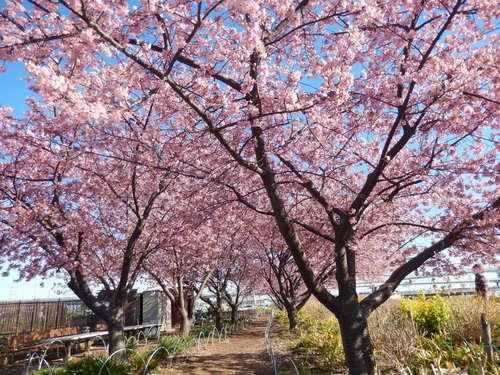 お花見...桜と富士と菜の花_b0137932_1450741.jpg